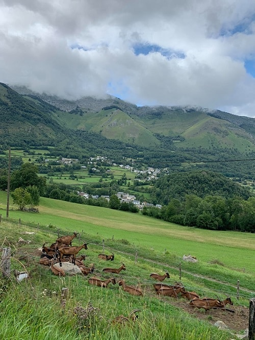 capre pirineze